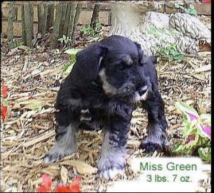 Me, 6 weeks . I was originally called Miss Green at the breeder's because I was the one who wore a green collar.