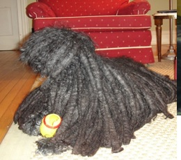 This is Bud. He's a Puli. He lives at Daddy's old house.. I'm still wondering if he is really a dog.