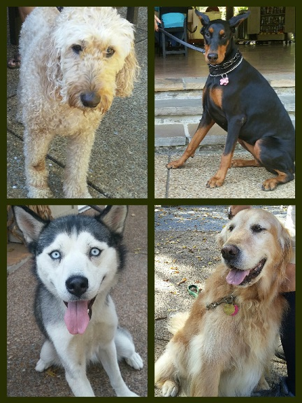 Top left is the popular Labradoodle, right is a regal Dobie who didn't want her picture taken. Botom left a Siberian Husky with startling ice blue eyes and right is sweet Sam, who just lost his brother. :(