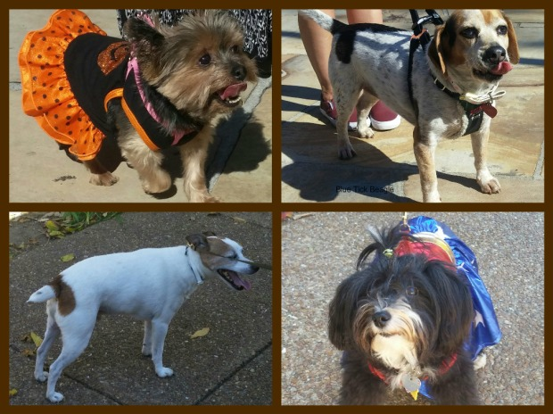 Top left the Yorkie is all ready for Halloween; right is a blue tick beale