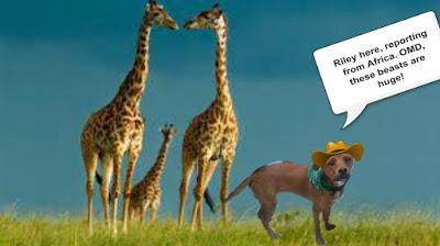 endangered-girafferiley
