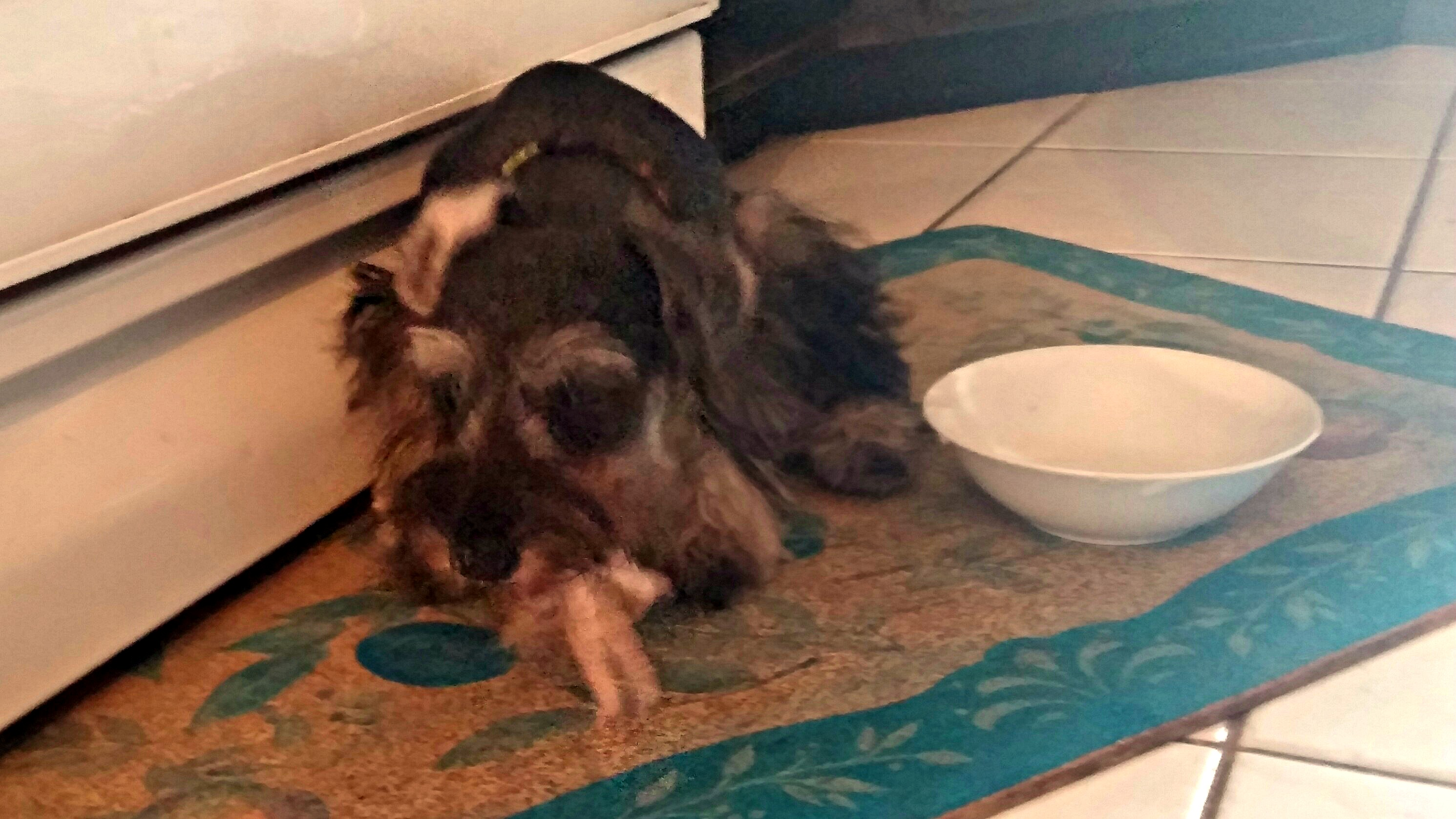 Xena eating chicken foot
